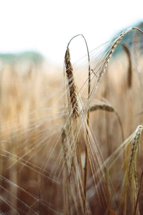 blé naturel vitamine